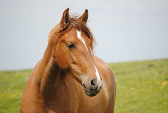 Spanish horse for sale - Chestnut Mare